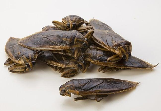 punaise d eau g ante belostomatidae insectes comestibles vendre. Black Bedroom Furniture Sets. Home Design Ideas