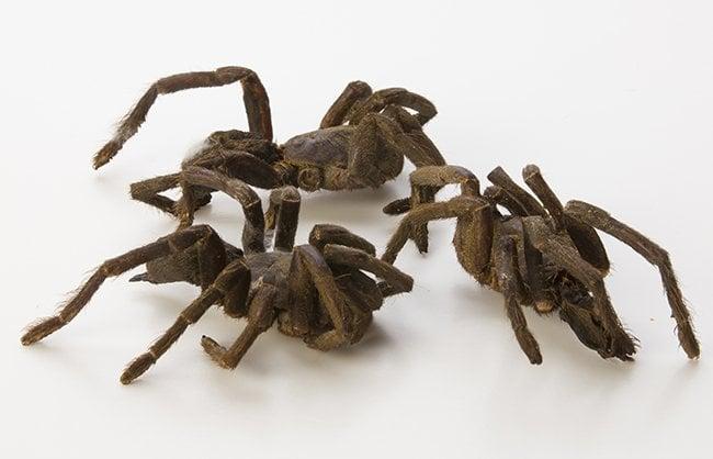 Tarantulas (Haplopelma Albostriatum)