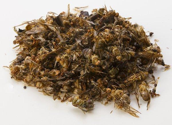 fourmis tisserandes oecophylla smaragdina insectes comestibles vendre. Black Bedroom Furniture Sets. Home Design Ideas