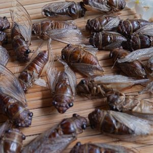 Buy Edible Insects For Sale Online   Ready To Eat Insects