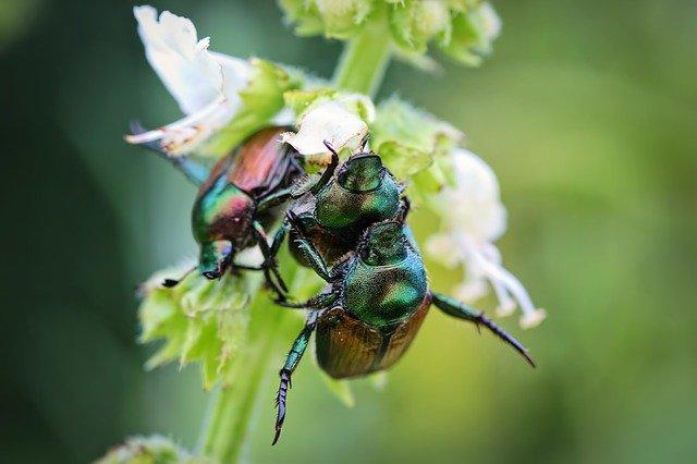 Chinesische Rüsselkäfer helfen beim Abnehmen